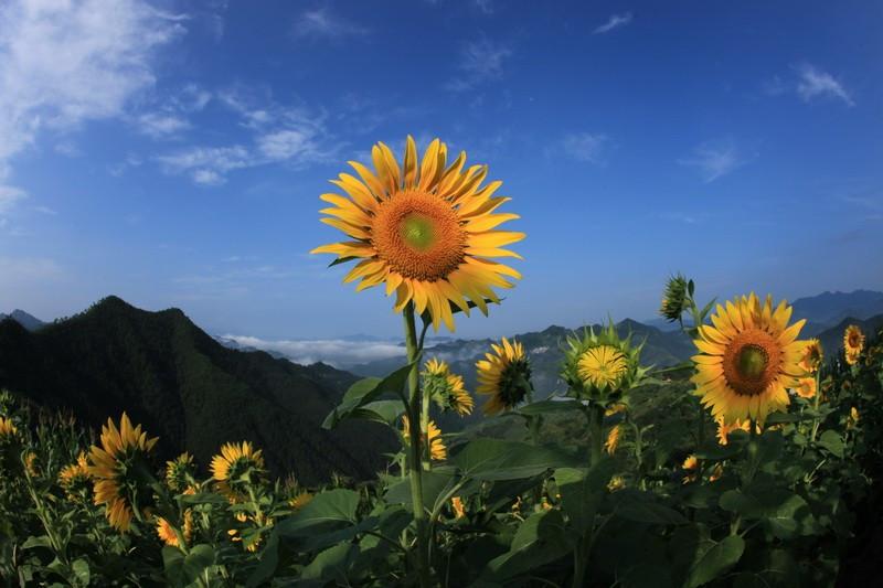 这是向日葵花开以及春天油菜花开的美景,看来我们要在明年才能看到