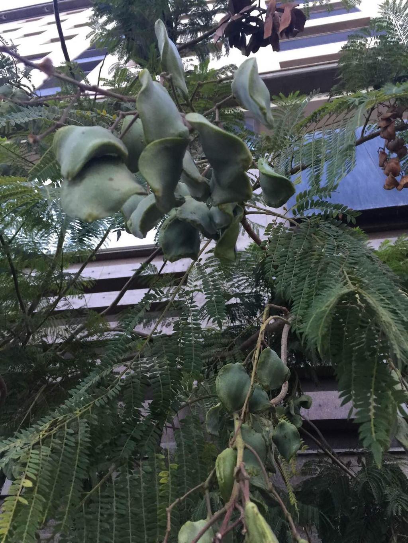 猜测是凤凰木的果实,可是凤凰木不是结豆荚